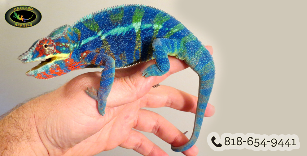 Chameleons are Colorful and in Demand